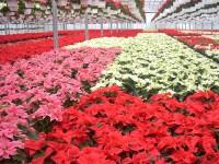 Przy kwiatach bez znajomości języka sezonowa praca w Niemczech ogrodnictwo od zaraz Kempen