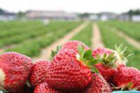 Bez języka sezonowa praca w Niemczech przy zbiorach truskawek od maja 2021 Rövershagen