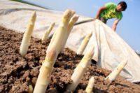 Sezonowa praca w Niemczech bez języka przy zbiorach szparagów od zaraz 2021 Kirchwahlingen