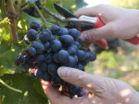Bez języka dam sezonową pracę w Niemczech przy zbiorach winogron od zaraz Landau
